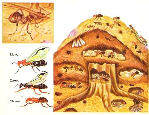 Как живут муравьи