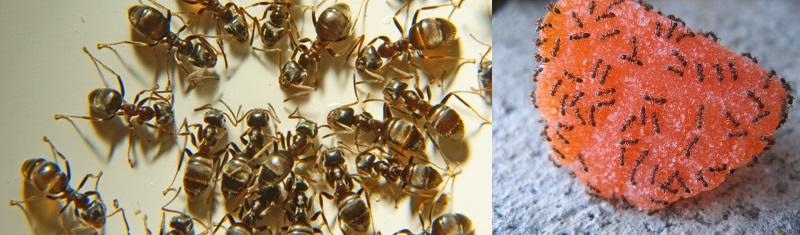 рыжие домашние муравьи